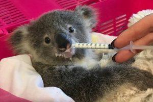 Koala Meddivert